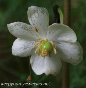 PPL wetlands mayapple flower (1 of 1)