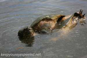 snapping turtle and PPL Wetlands  (10 of 26)