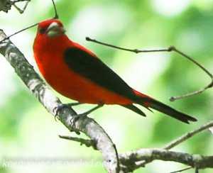Bear Creek preserve  scarlet tanager (1 of 1)