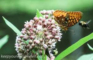 Lehigh Canal  milkweed 035 (1 of 1)