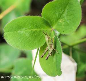 Macro  hike grasshopper (1 of 1)