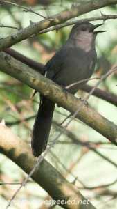 PPL Riverland June 10 2015 catbird 106 (1 of 1)