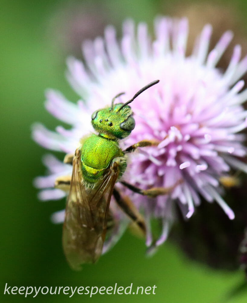macro thjistle wasp 012 (1 of 1)