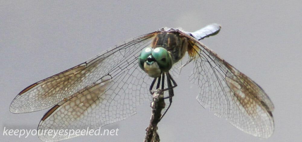 PPL Wetlands dragonflies 123 (1 of 1)