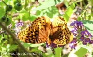 macro butterfly 281 (1 of 1)