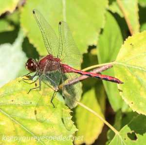 Dragonfly 106 (1 of 1)