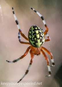 marbled spider  (1 of 1)