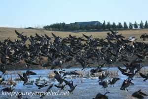 Boissevain Canada snow geese (2 of 17)
