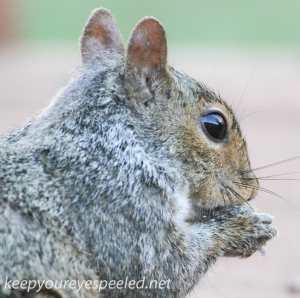 Backyard squirrel  (1 of 1)