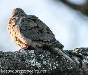 backyard feeder  mourning dove (1 of 1)