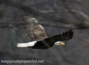 PPL Wetlands  Bald eagle 2 (1 of 1)