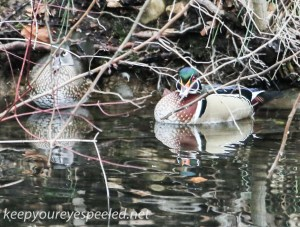 Weissport Canal wood duck  2 (1 of 1)
