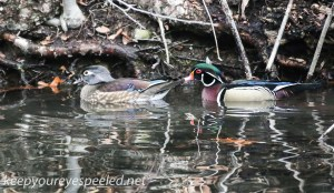 Weissport Canal wood duck  7 (1 of 1)