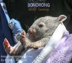 Bonorong Wombat-4