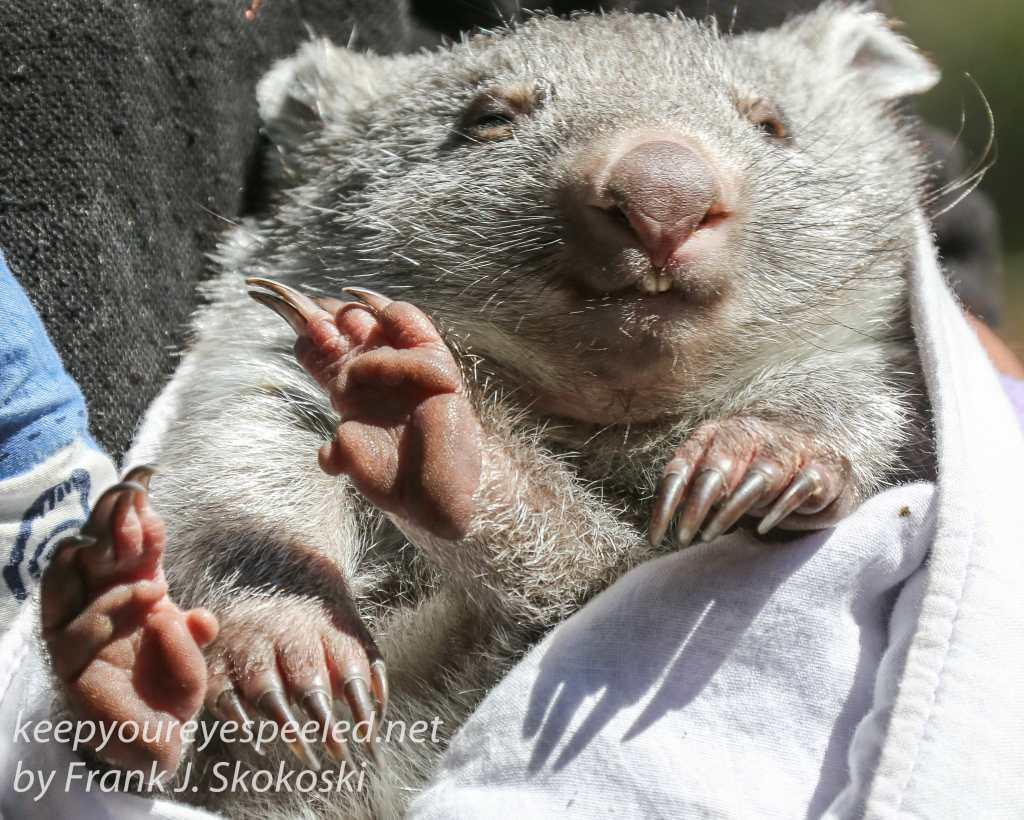 Bonorong Wombat-6