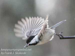 back yard birds-23