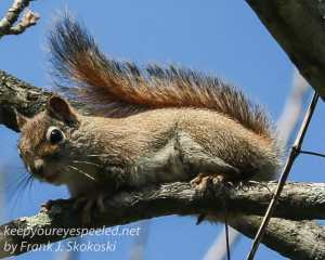 PPL Wetlands red squirrels April 24 2016 -2