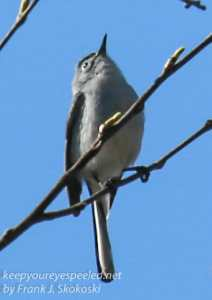 PPL Wetlands yellow rumped blue gray gnat catcher April 24 2016 -3
