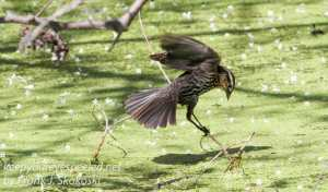 PPL Wetlands red winged blackbird -2