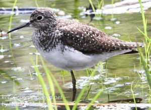 PPL Wetlands sandpiper -9