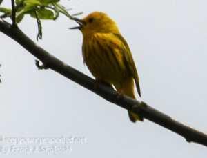 PPL Wetlands yellow warbler -1