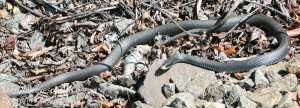 black snake -15
