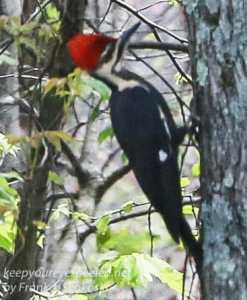 pileated woodpecker -1