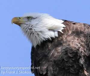 bald eagle -15