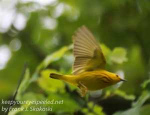 yellow warblers -18