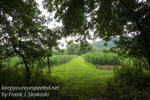 wood path leading to corn field