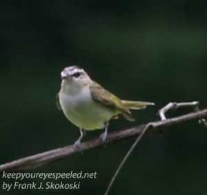 flycatcher on branch