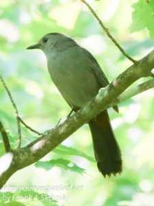 catbird on tree branch