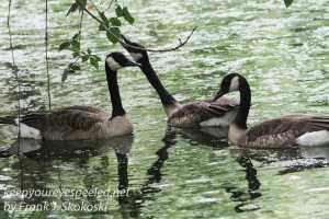 three canada geese feeding in wetlands