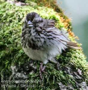 young song sparrow on tree