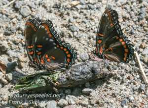 spicebush swallowtails on coyote droppings