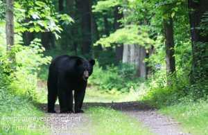 black bear on trail