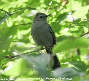 catbird in leaves on tree branch