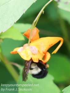 bee in jewel weed flower
