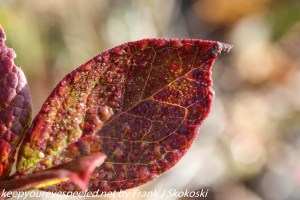 red blueberry leaf