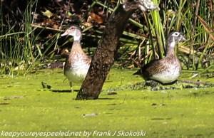 wood ducks on duckweed covered pond
