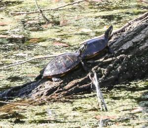 two turtles on log
