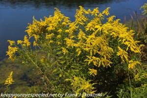 ragweed along lake