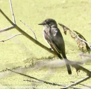 fly catcher on branch