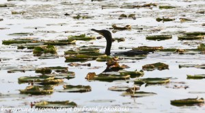 cormorant head out of water
