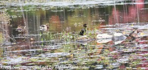 cormorant with mallard ducks on lake
