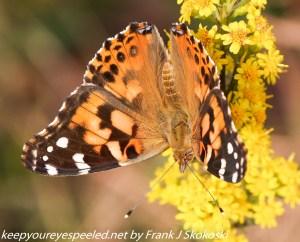 butterfly on goldenrod flower