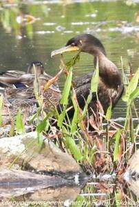 cormorant in weeds