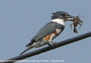 kingfisher on wire eating crayfish