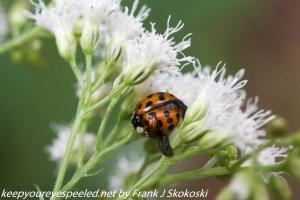 lady bug beetle on white flower