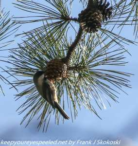 black-capped chickadee feeding on pine cones